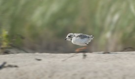 Cropped Plover