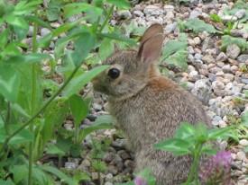 Joan's bunny_web