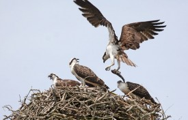 John Harrison osprey With fish